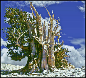 World's oldest living thing